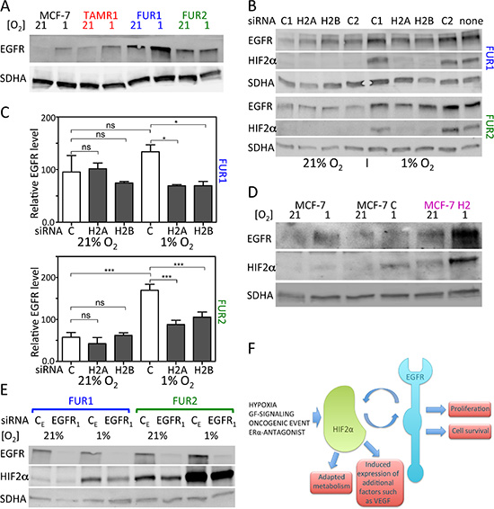 Effect of downregulation of HIF2α on EGFR protein levels and downregulation of EGFR on HIF2α protein levels in MCF-7 and antiestrogen resistant cells.
