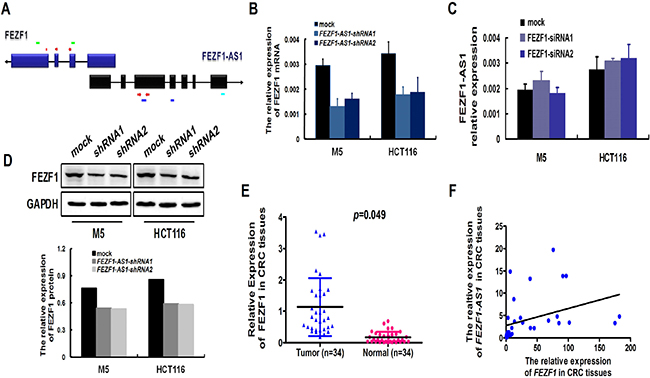 Konckdown of FEZF1-AS1 decreased the expression of FEZF1.