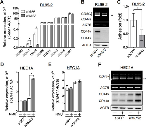 Effects of NMU signaling on the expression of adhesion molecules in the grade II endometrial cancer cell lines.