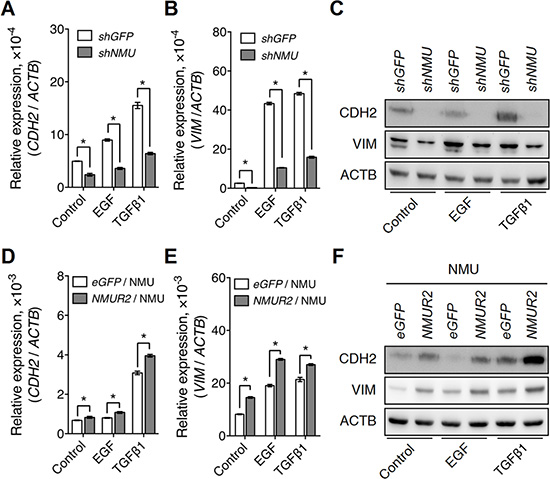 NMU signaling positively regulates growth factor-driven mesenchymal marker expressions in the grade II endometrial cancer cell lines.