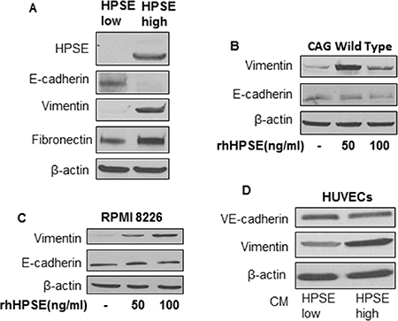 HPSE induces a mesenchymal phenotype in myeloma cells and vascular endothelial cells.