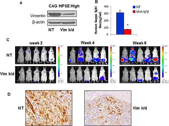 Vimentin knockdown in CAG HPSE-high MM cells inhibits tumor growth and bone homing in vivo.