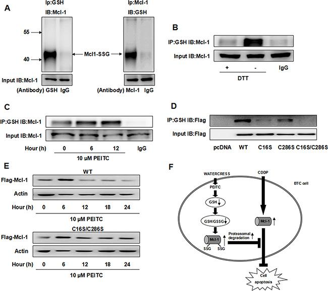 PEITC increases the glutathionylated Mcl-1 and induces glutathionylation-dependent degradation of Mcl-1.