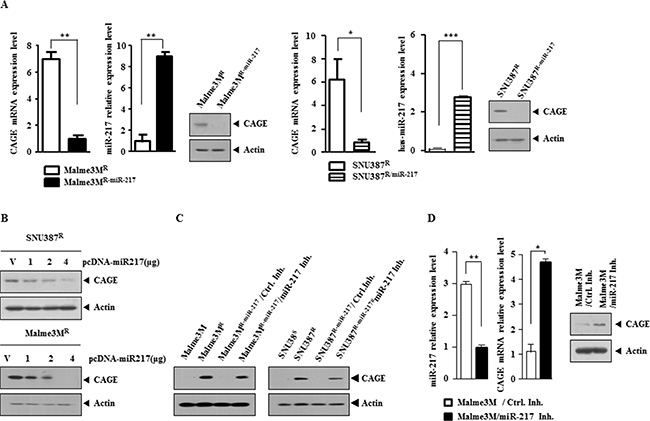 miR-217 negatively regulates the expression of CAGE.