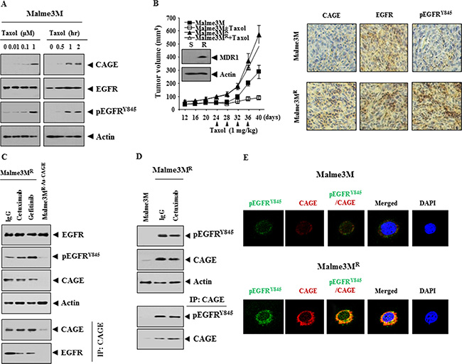 CAGE interacts with EGFR and is necessary for the increased phosphorylation of EGFR in Malme3MR cells.