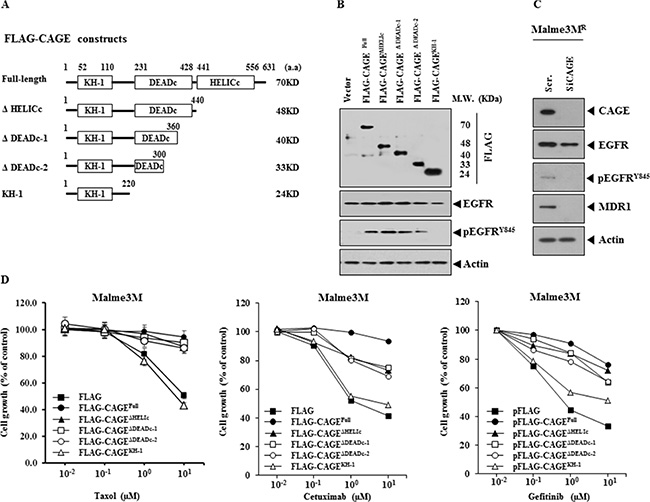 CAGE confers resistance to EGFR inhibitors.