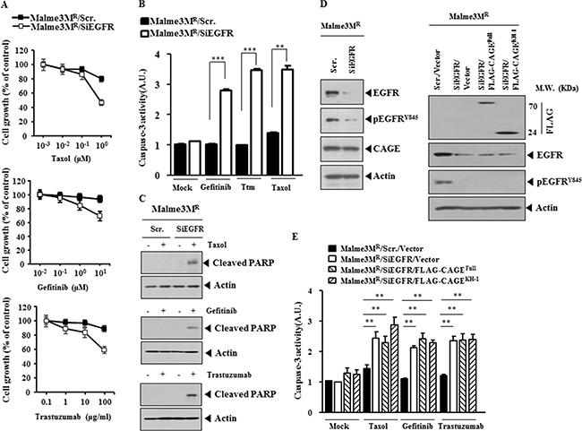 The down-regulation of EGFR enhances sensitivity to anti-cancer drugs.