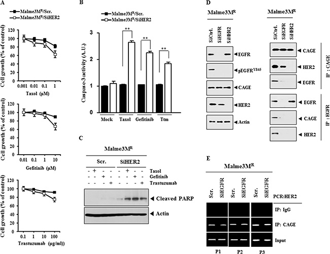 HER2 is necessary for the interaction between CAGE and EGFR, and regulates the response to anti-cancer drugs.