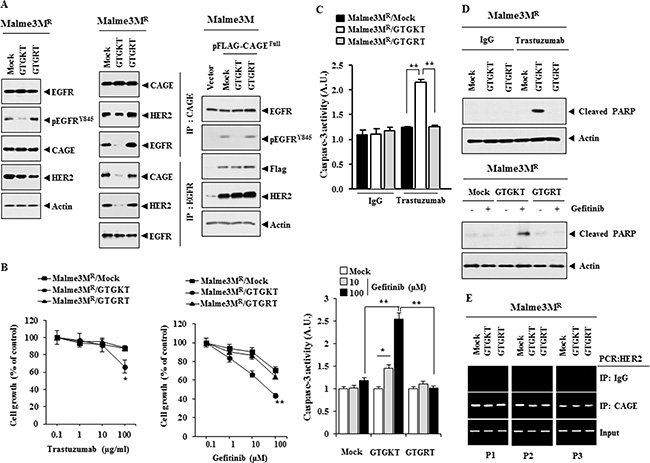The inactivation of EGFR confers sensitivity to anti-cancer drugs and inhibits interactions of EGFR with CAGE and HER2.