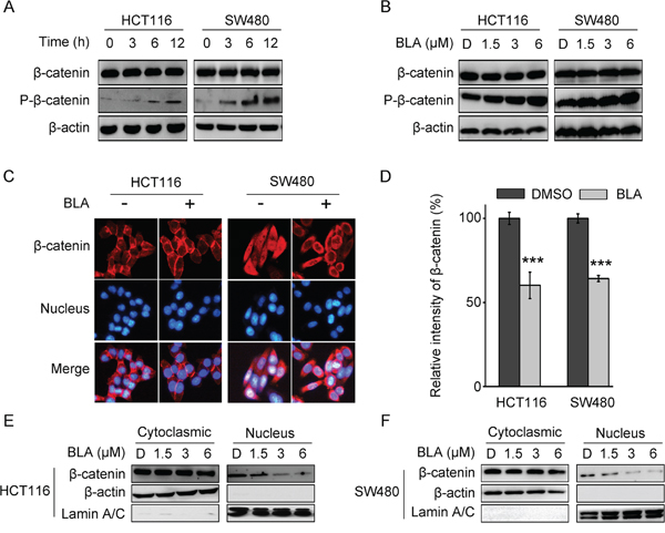 Bisleuconothine A promotes the phosphorylation and suppresses the nuclear translocation of β-catenin in colorectal cancer cells.