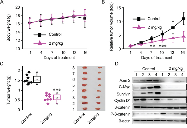 Bisleuconothine A sulfate suppresses colorectal cancer cells Xenografts growth through downregulation of Wnt signaling in HCT116 Xenografts mouse model in vivo.