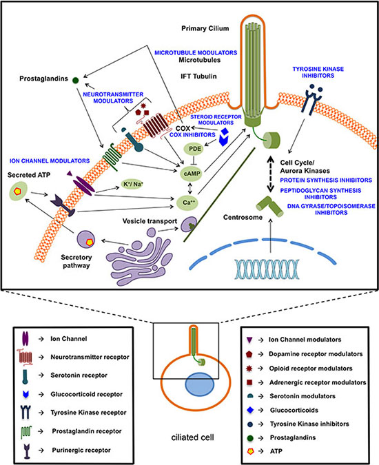 Schematic overview of identified ciliogenic compounds based on their potential targets or putative mechanism of action.