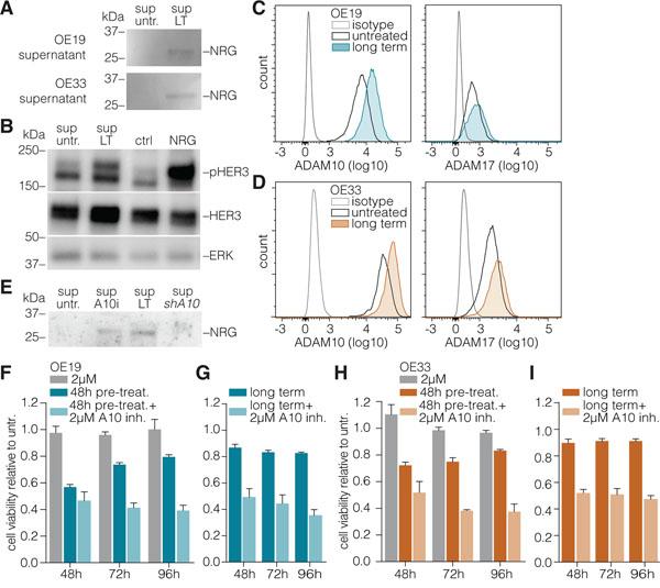 ADAM10 mediates neuregulin-1β release to activate HER3.