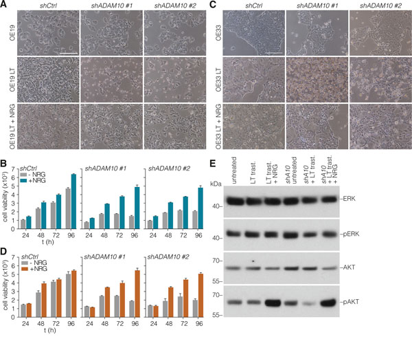 Loss of ADAM10 function can be rescued by addition of exogenous NRG-1β.