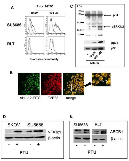 Binding of AHL-12 to cells and activation.
