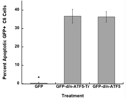 GFP-d/n-ATF5 C-terminally truncated fusion protein (GFP-d/n-ATF5-Tr) promotes the same level of apoptosis as full-length GFP-d/n-ATF5 protein in C6 glioma cells.