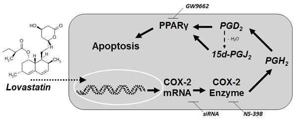 Proposed mechanism underlying the proapoptotic action of lovastatin lactone on lung cancer cells.
