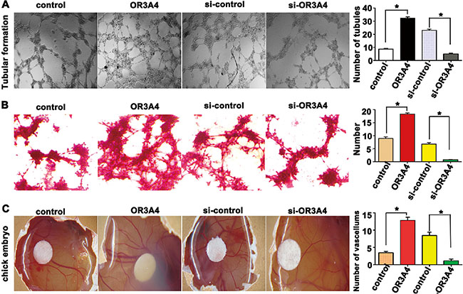OR3A4 induces tubular formation and promoted angiogenesis in chicken embryos.