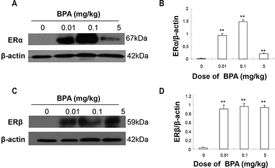 BPA exposure increased the protein levels of ERα and ERβ in testes.