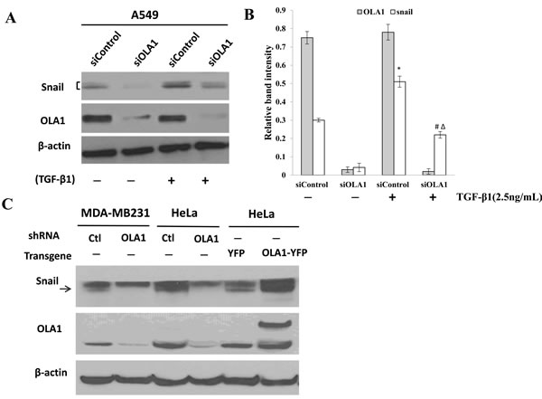 Regulation of Snail protein by OLA1.