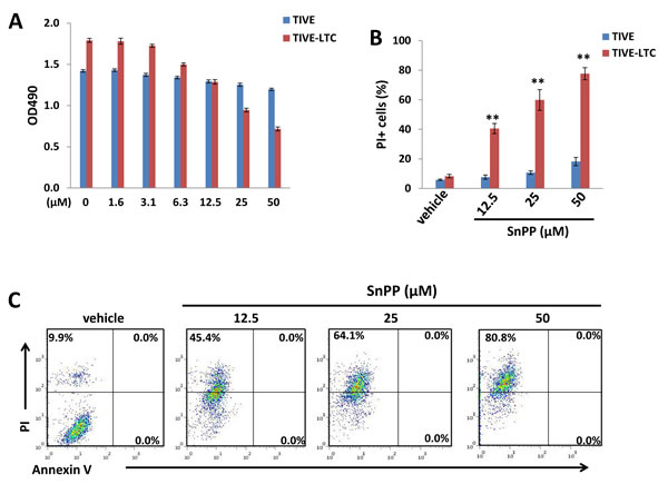 Targeting HO-1 by SnPP inducing KSHV-infected endothelial cell death is independent of apoptosis.