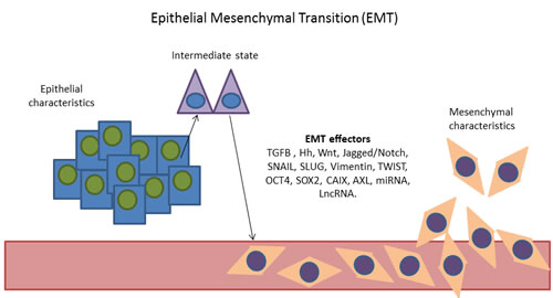Representation of the epithelial mesenchymal transition. Cells with epithelial characteristics acquire mesenchymal characteristics through the activation of EMT effectors. [EMT effectors: TGFB, Hedgehog (Hh), Wnt, Jagged/Notch signalling pathways, SNAIL, Slug, Vimentin, TWIST, OCT4</a>, SOX2</a>, CAIX, AXL, MicroRNAs (miRNA) and long non-coding RNAs (lncRNA)].