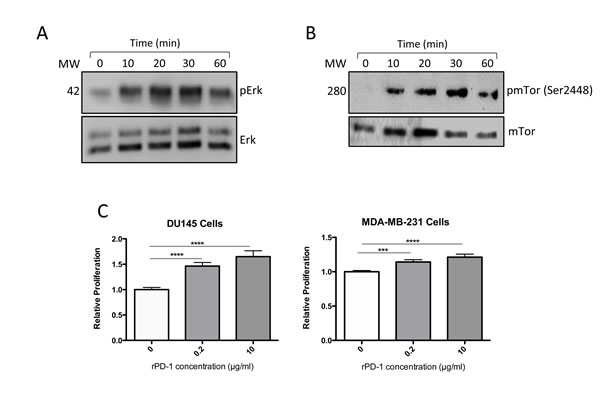 Effect of recombinant PD-1 (rPD-1) on phosphorylated ERK (pERK) and total ERK in MDA-MB-231 cells as determined by Western immunoblot.