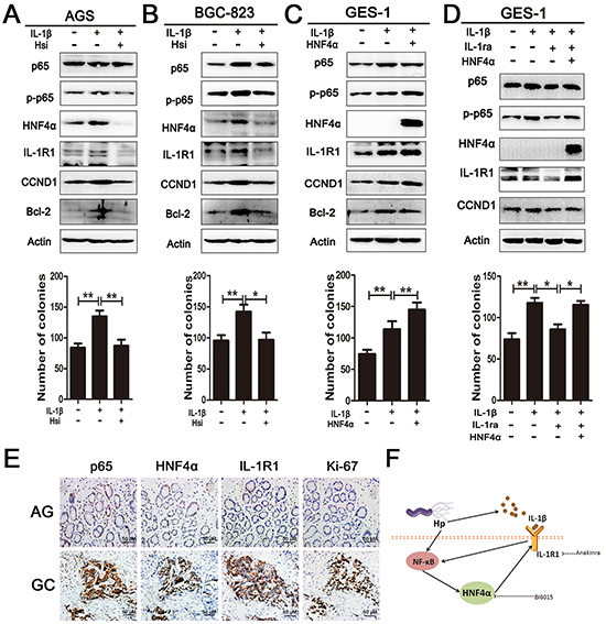 HNF4α and IL-1R1 is essential for IL-1β-induced expression and phosphorylation of p65.