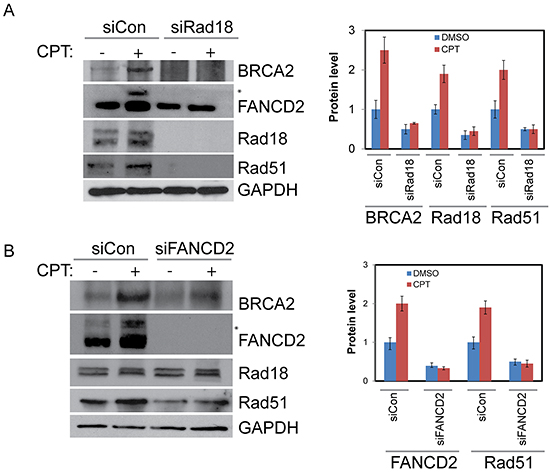 Rad18 is important for proper activation of FANCD2 and both Rad18 and FANCD2 are important for the stability of Rad51 and BRCA2.