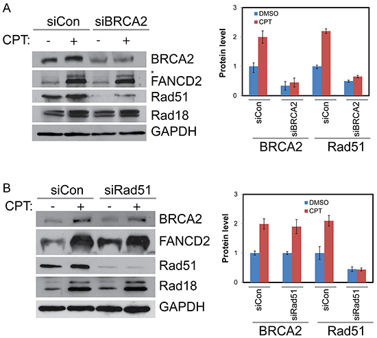 BRCA2 increases stability of Rad51 in CPT-treated cells but Rad51 has no detectable impact on BRCA2, Rad18 or Rad51.