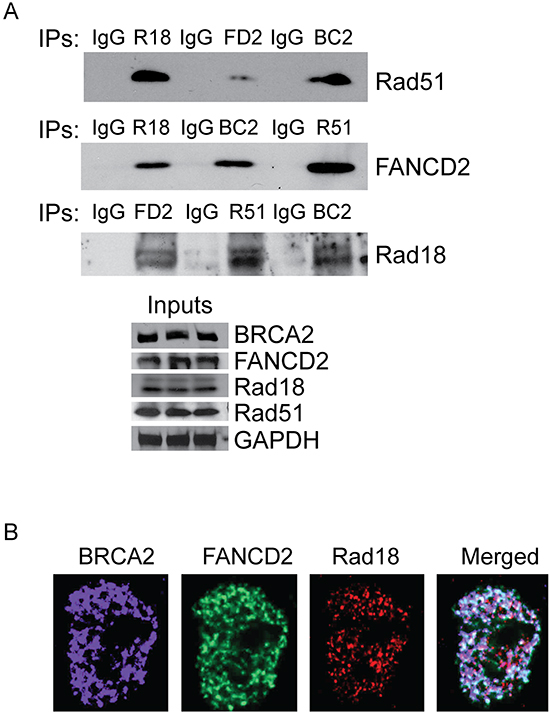 Rad18, FANCD2, BRCA2 and Rad51 co-immunoprecipitates and co-localizes in response to CPT.
