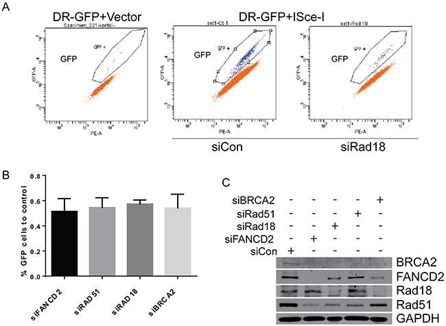 Downregulation of Rad18, FANCD2, BRCA2 and Rad51 results in similar levels of HR deficiency in ISce-I induced DSB repair.
