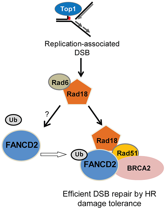 Summary of the data in a hypothetical model showing the functional relationships between Rad18, FANCD2, BRCA2 and Rad51 in repair of Top1-poisons-induced DSB.