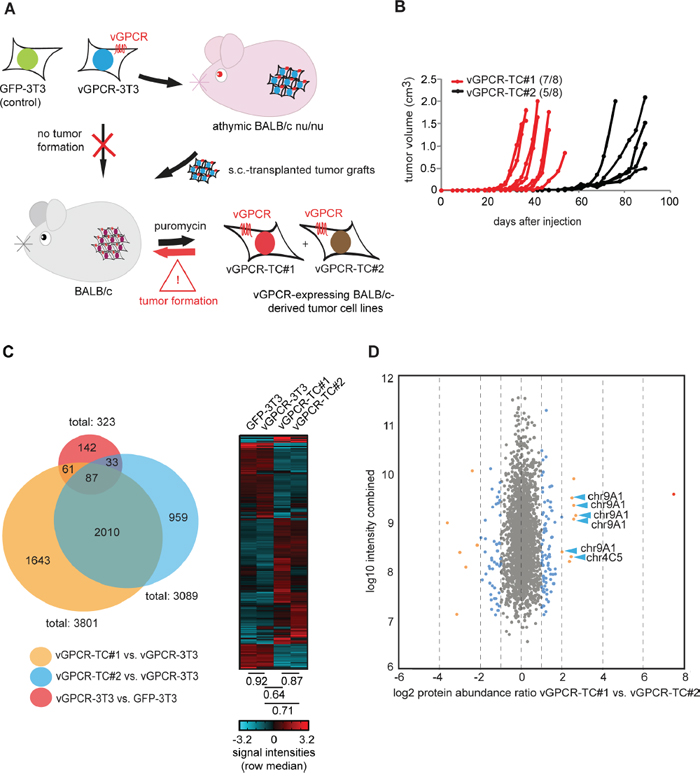 Large-scale analysis of the transcriptome and proteome of cell lines from the vGPCR mouse tumor model.