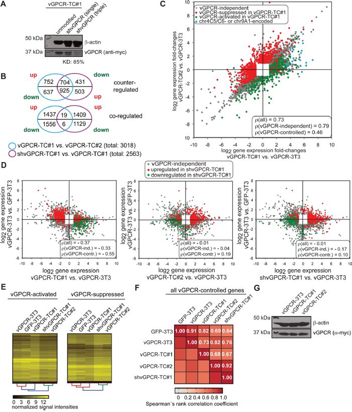 Identification of vGPCR-controlled genes in vGPCR-TC#1 cells by knockdown of the vGPCR.