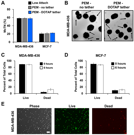 Lipid tethering retains free-floating characteristics of breast tumor cells and does not affect cell viability.