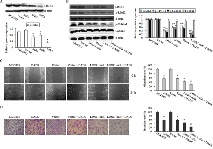 Knockdown of LIMK1 augmented the inhibitory effects of DADS on MGC803 cell migration and invasion.
