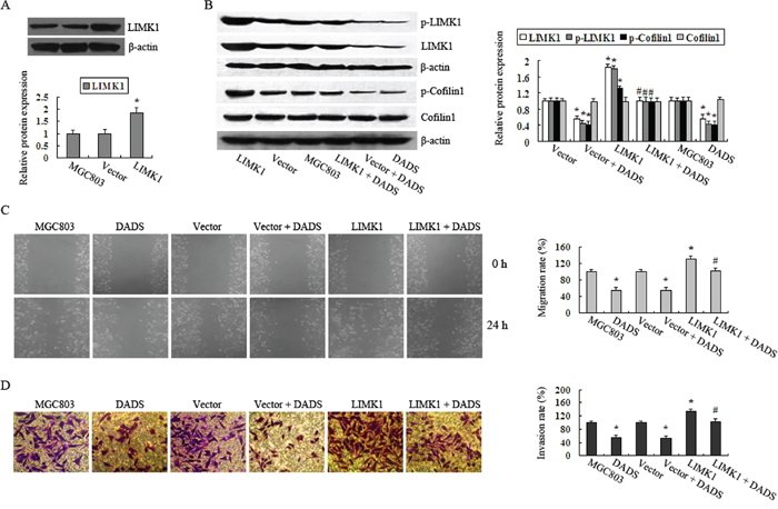Overexpression of LIMK1 attenuated the inhibitory effects of DADS on MGC803 cell migration and invasion.