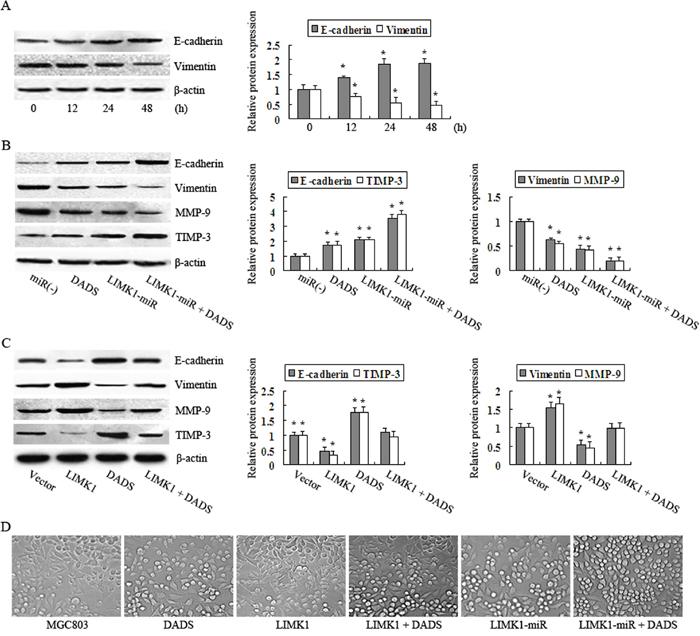DADS inhibits EMT by downregulating LIMK1 in MGC803 cells.
