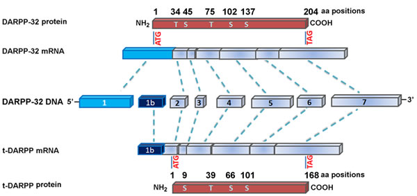 Genomic structure of DARPP-32 and its truncated isoform, t-DARPP.