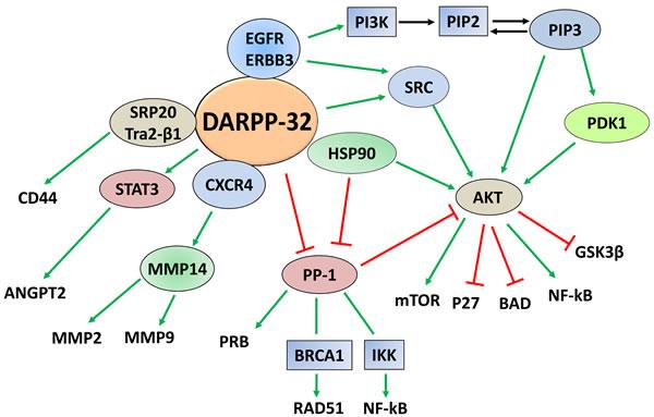 DARPP-32-regulated cancer signaling pathways.