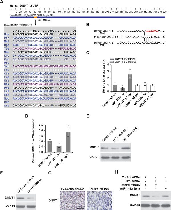 DNMT1 is a target of miR-148a-3p and is suppressed by H19 deletion.