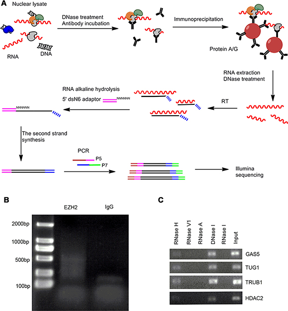 The modified RIP-seq approach for EZH2-interacting RNA profiling analysis.