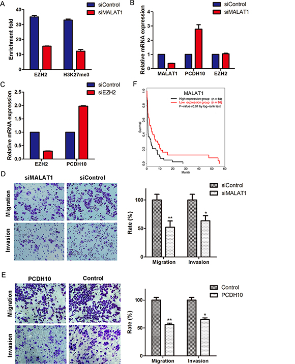 MALAT1 suppresses PCDH10 by interacting with EZH2 and promotes gastric cancer cellular invasion and migration.