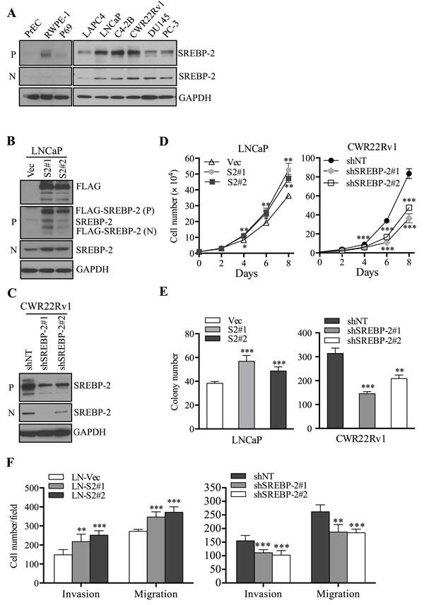 SREBP-2 promotes PCa cell proliferation, invasion and migration.