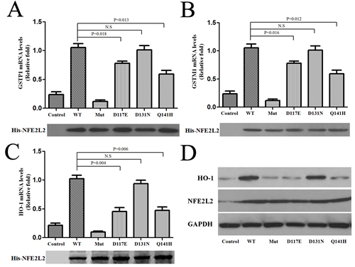 Reduced expression of the downstream genes of NFE2L2 with Parkinson's disease associated polymorphism.