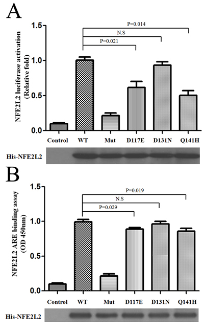 Reduced activation of ARE-driven transcriptional activity by NFE2L2 variants.