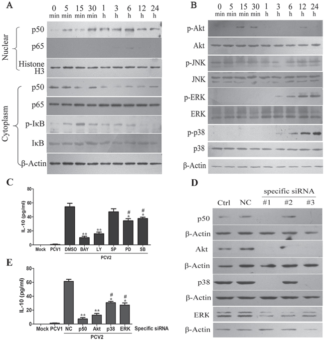PCV2 inoculation induces IL-10 expression via activating NF-κB, PI3K/Akt, ERK and p38 MAPK signaling pathways in PAMs.