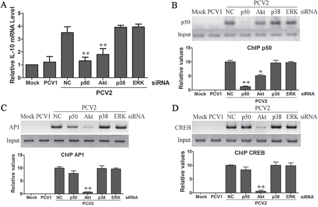 PCV2 inoculation employed PI3K/Akt cooperating with NF-κB pathways to promote IL-10 transcription via p50, CREB and Ap1 transcription factors in the earlier phase.