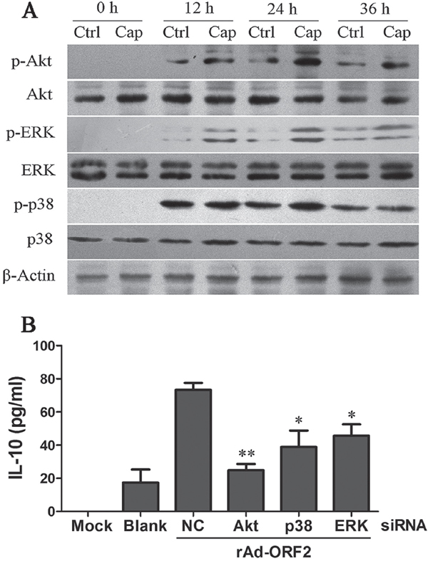 PCV2 Cap protein activates PI3K/Akt, ERK and p38 MAPK signaling pathways.
